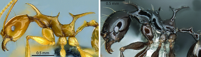 Sarnat et al. 2016. Inordinate spinescence: Taxonomic revision and microtomography of the Pheidole cervicornis species group (Hymenoptera, Formicidae). doi:10.1371/journal.pone.0156709