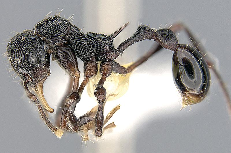 Rabeling et al. 2016. Lenomyrmex hoelldobleri: a new ant species discovered in the stomach of the dendrobatid poison frog, Oophaga sylvatica (Funkhouser). doi:https://doi.org/10.3897/zookeys.618.9692