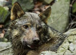 siva volkulja