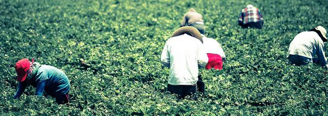 Obiranje jagod, Oxnard California (foto: Alex Proimos via Flickr)