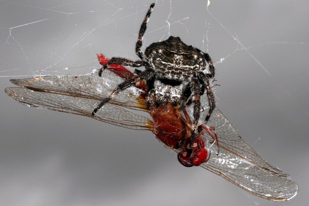 Darwinov drevesni pajek z uplenjenim kačjim pastirjem
