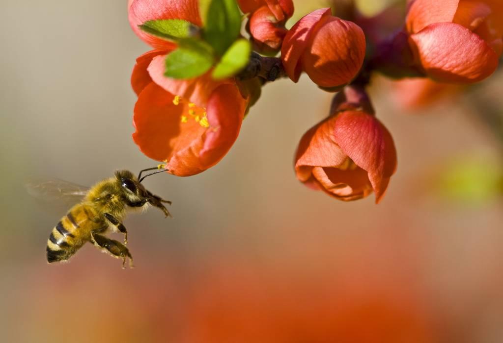 Medonosna čebela (foto via Wikipedia)