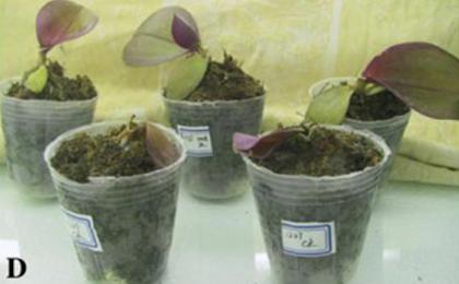 Orhideje v zgornji vrsti imajo dodan gen iz riža, ki jim je omogočil preživeti nizke temperature.