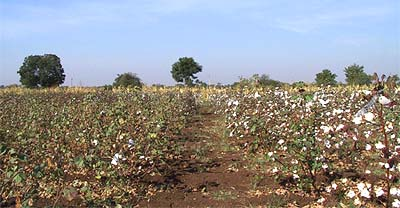 non-Bt cotton vs Bt cotton (foto via agbioforum.org)