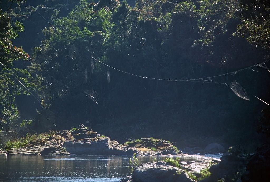 Mreže Darwinovega drevesnega pajka nad reko v narodnem parku Ranomafana, Madagaskar