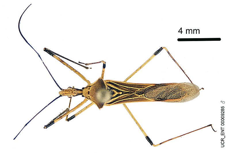 Zhang et al. 2016. A taxonomic monograph of the assassin bug genus Zelus Fabricius (Hemiptera: Reduviidae): 71 species based on 10,000 specimens. doi: 10.3897/BDJ.4.e8150