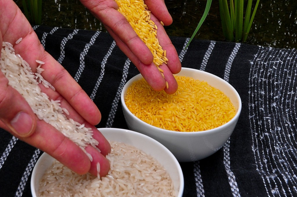 Golden rice (photo: International Rice Research Institute (IRRI) via Wikimedia)