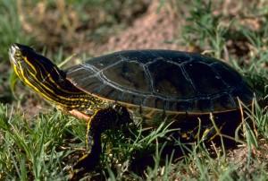 (foto: Gary M. Stolz/U. S. Fish and Wildlife Service via Wikimedia)
