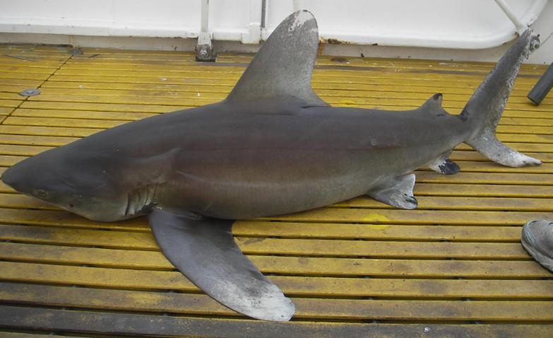carcharinus-longimanus