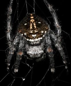 Darwinov drevesni pajek
