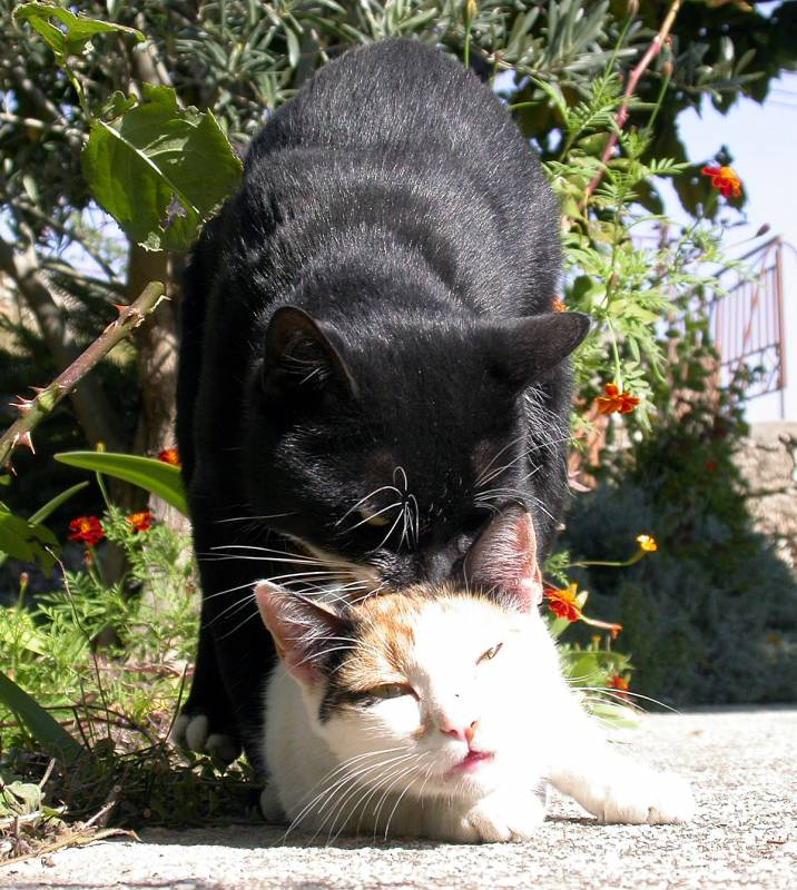 Mating cats