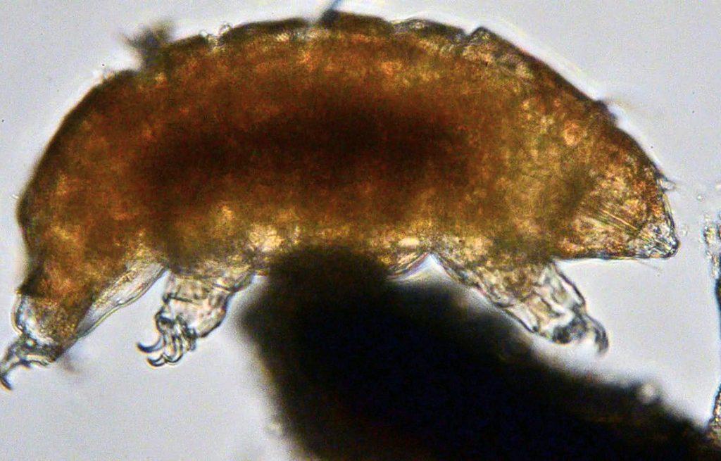 tardigrad