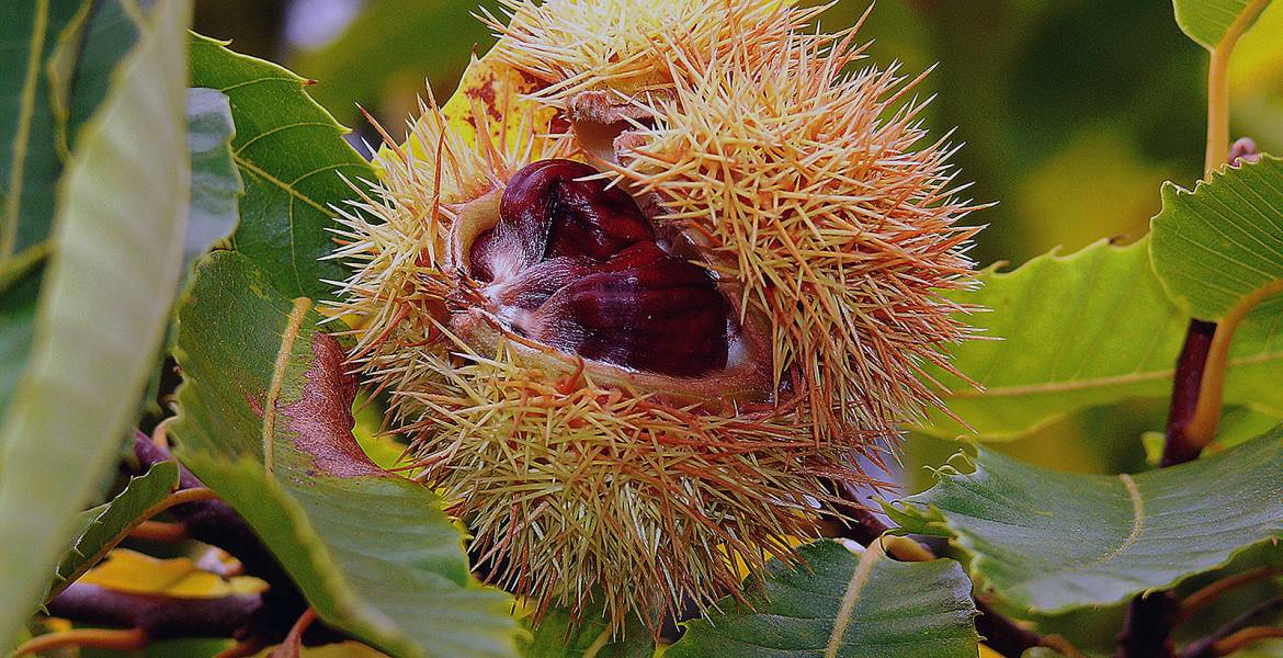 tree-chestnut-autumn-chestnut-tree-chestnut-time