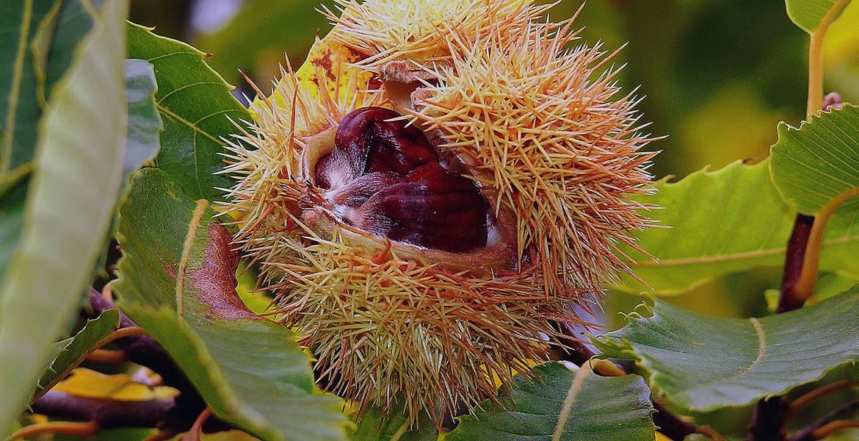 tree-chestnut-autumn-chestnut-tree-chestnut-time