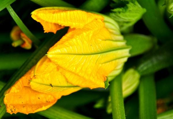 bučkin cvet