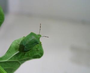 stenica zelena smrdljivka na sadiki fižola v laboratoriju